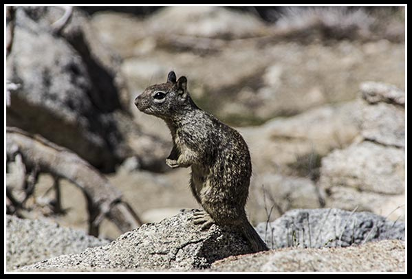 Squirrel at the top of Mount San Jacinto in Palm Springs, California