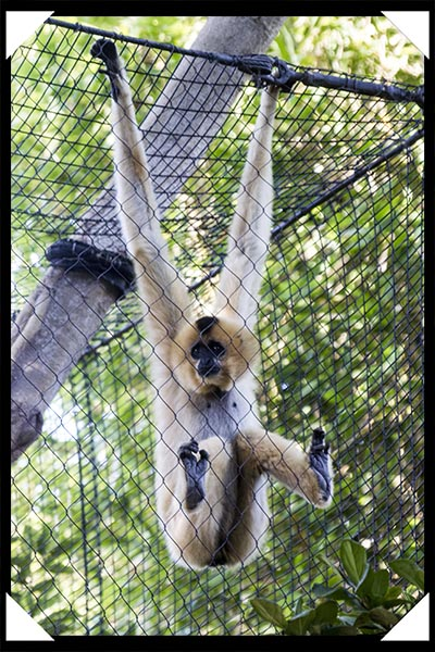 Female red-cheeked gibbon at the San Diego Zoo