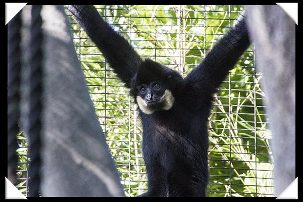 Male red-cheeked gibbon at the San Diego Zoo