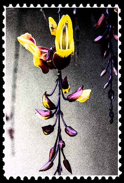 Photographic Art—Thunbergia
