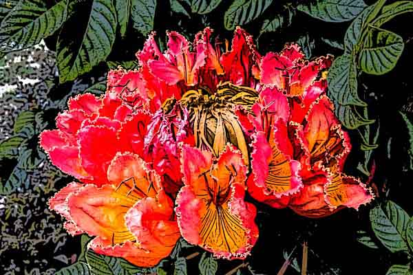 African tulip tree Photographic Art by Russel Ray Photos