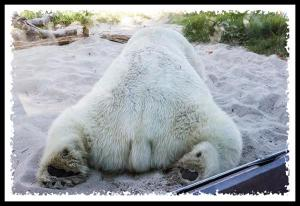Rear end of a polar bear