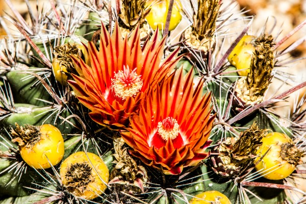 Cactus Flowers and Fruits