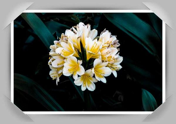 Yellow Clivia