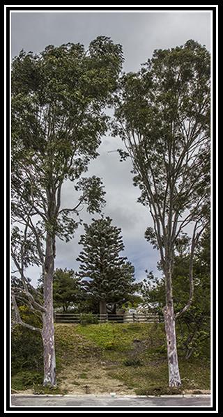 Pinus verizonii