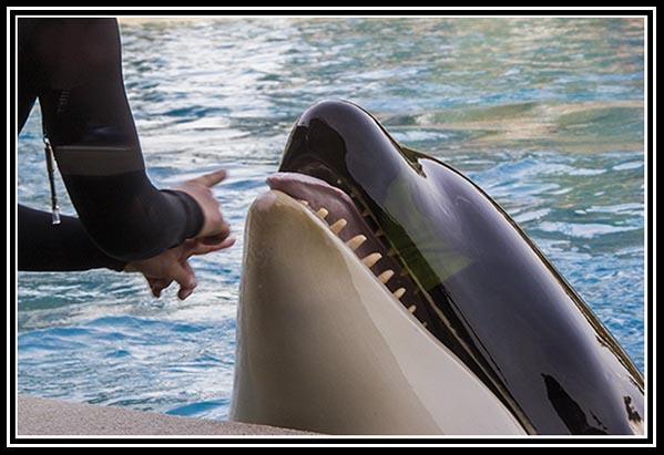 Shamu at SeaWorld San Diego on March 29, 2014