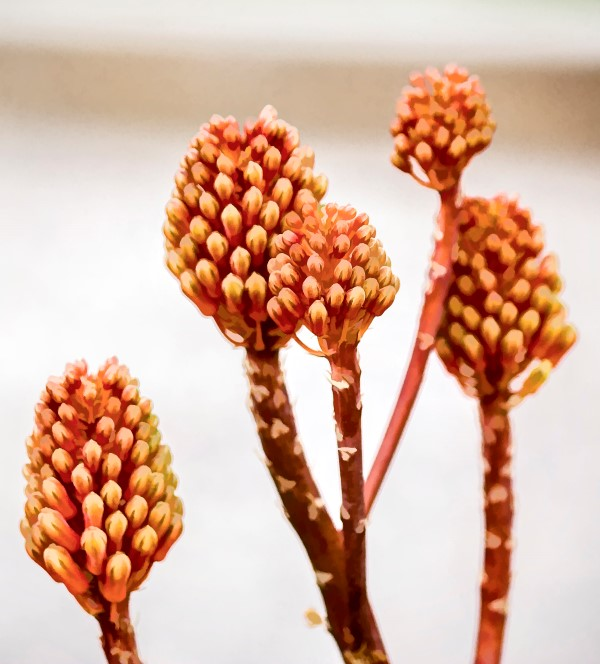 Aloe flower buds