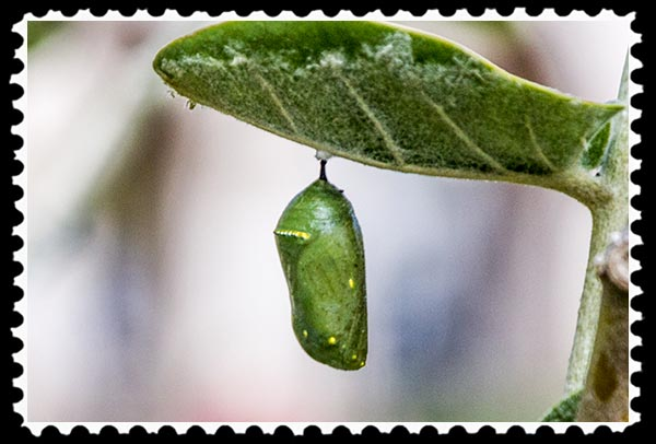 Chrysalis of a Monarch butterfly