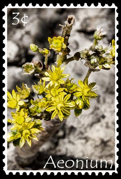 3¢ Aeonium stamp