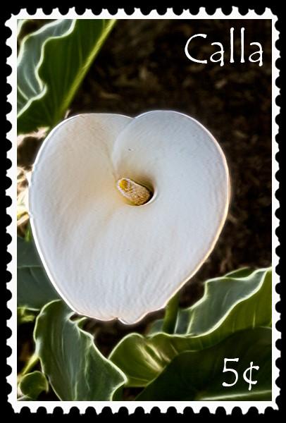 5¢ Calla stamp