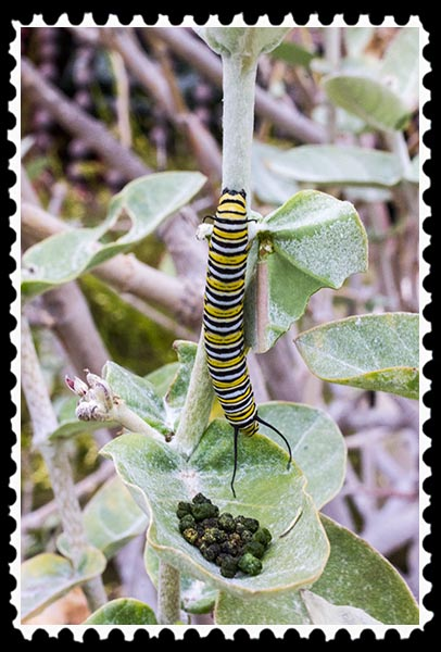 Monarch caterpillar and its poop