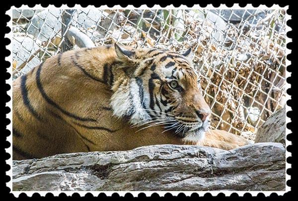 Malayan tiger at the San Diego Zoo