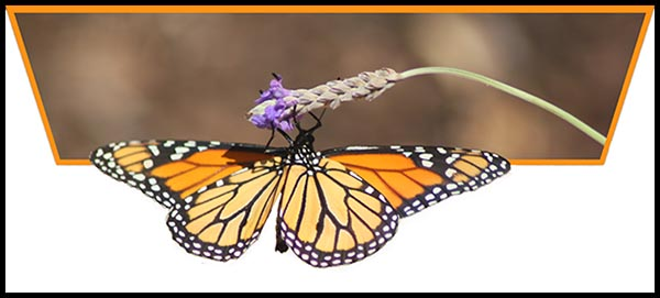 Monarch out of bounds