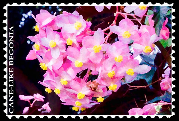 Cane-like Begonia