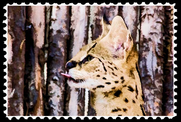 Serval sticking out its tongue