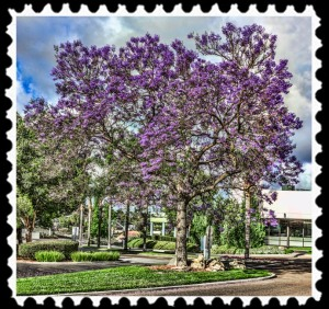 Jacaranda in San Diego, California