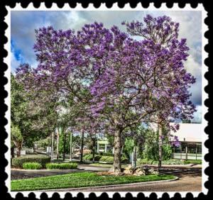 Jacaranda in San Diego, California
