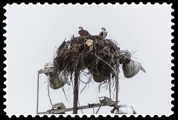 Osprey nest and birds