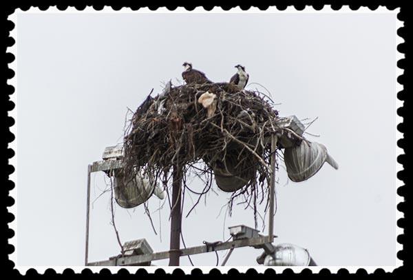 Osprey nest and birds