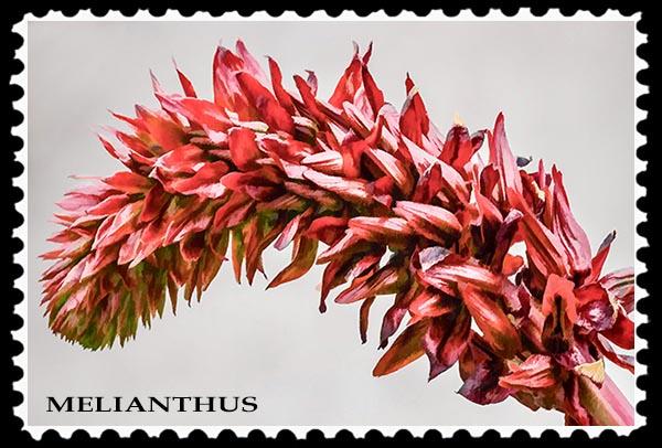 Melianthus stamp