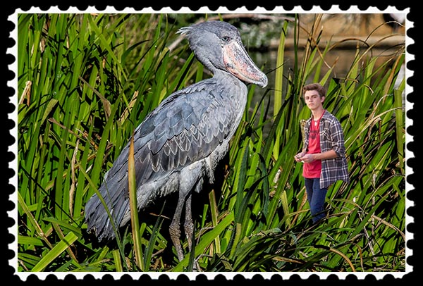 Shoebill and Julian