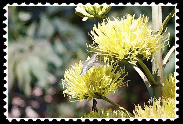 Hummingbird and cactus flowers