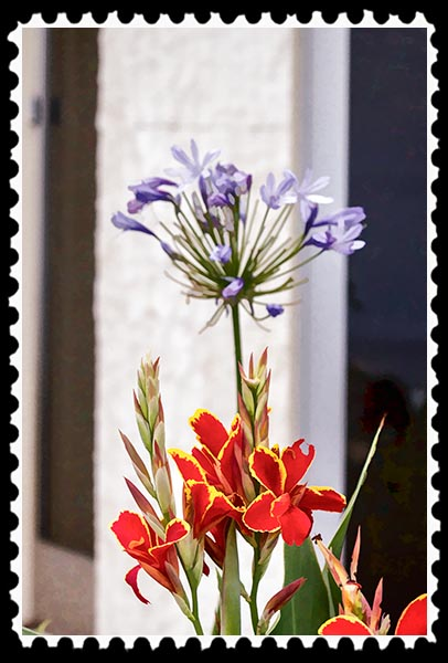 Canna and agapanthus