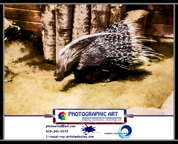 African Crested Porcupine at SeaWorld San Diego