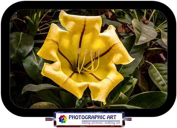 Cup of Gold (Solandra maxima)