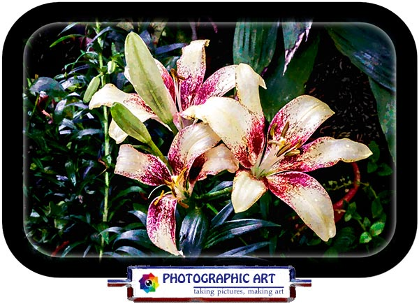 Day lilies from San Diego's Balboa Park