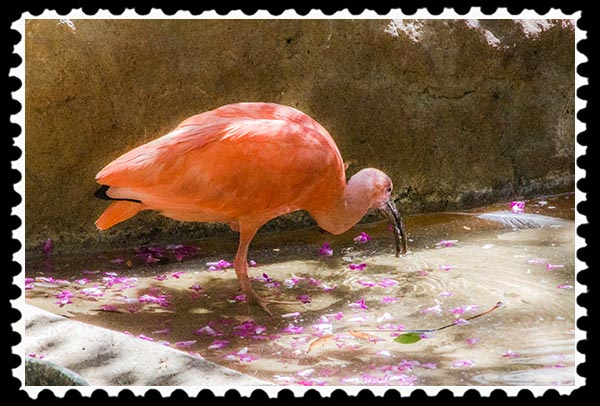 Scarlet Ibis at the San Diego Zoo Safari Park