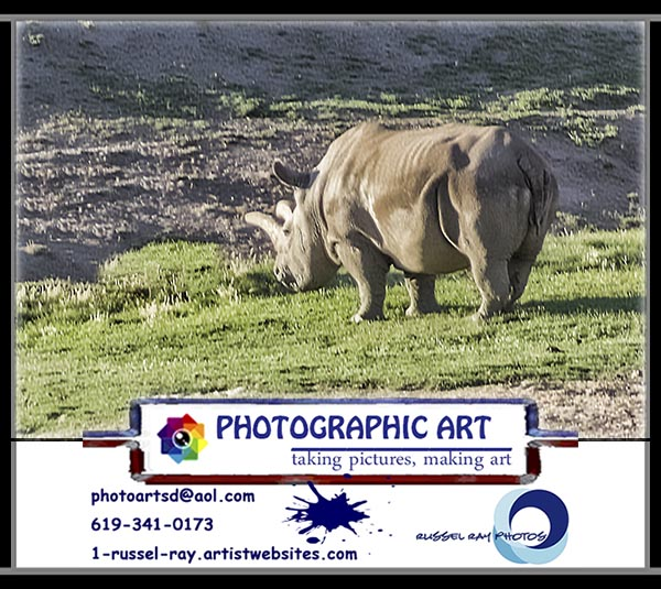 Northern white rhinoceros at the San Diego Zoo's Safari Park