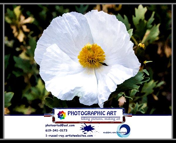 California tree poppy