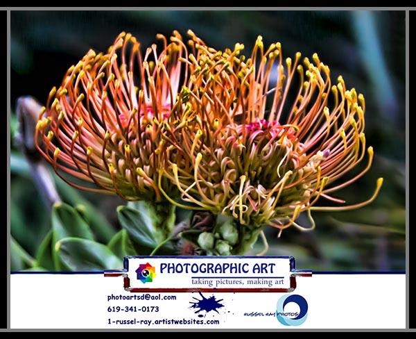 Proteacae species