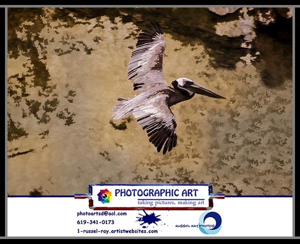 Pelicans at La Jolla Cove in La Jolla, California, north of San Diego.