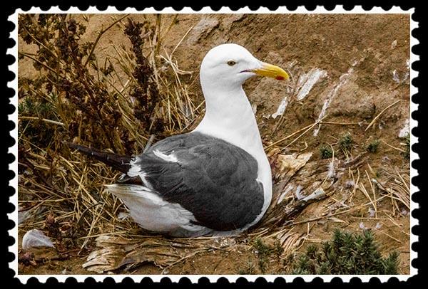 Seagull on a nest