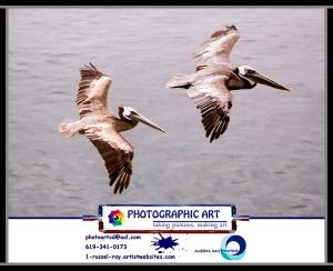 Brown pelicans in flight