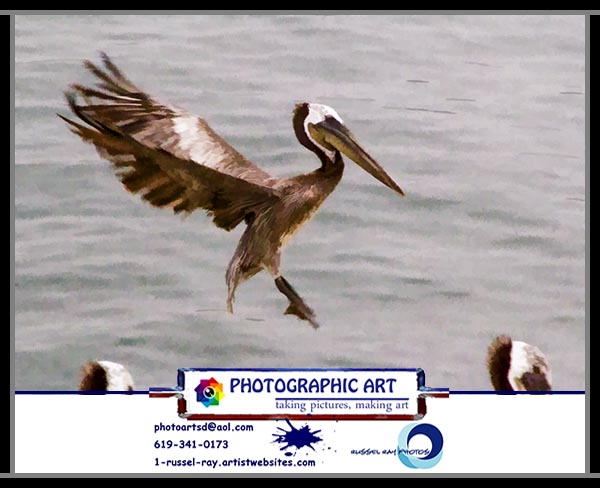 Brown pelican coming in for a landing