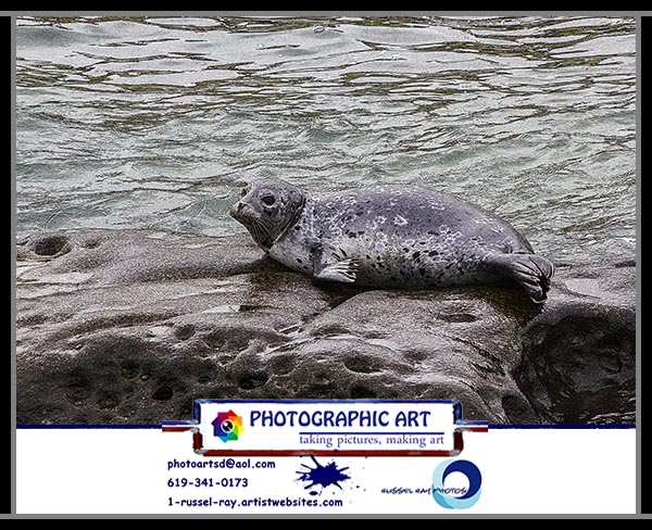 Harbor seals and sea lions in La Jolla, California