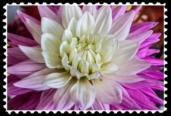Dahlia from the 2014 San Diego County Fair