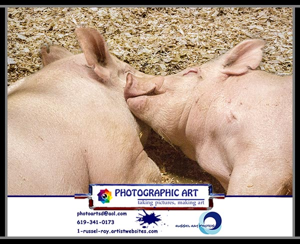 Two pigs sleeping