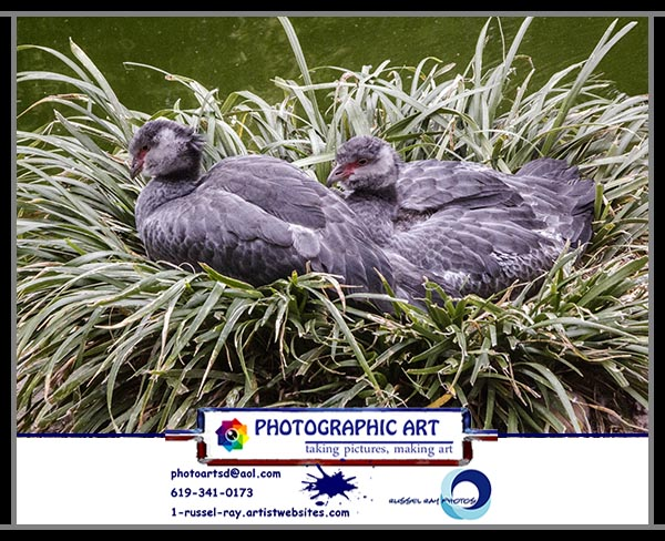 Nesting crested screamers