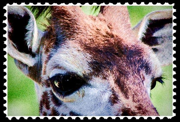 Giraffe Photographic Art