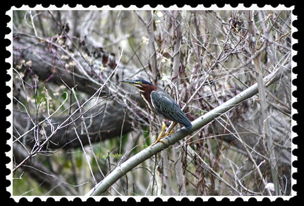 Green heron at Adobe Falls