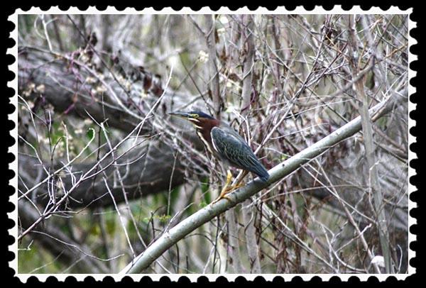 Green heron at Adobe Falls