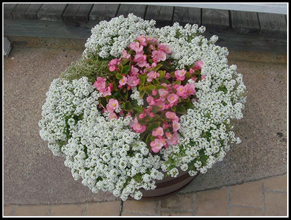 Alyssum and begonia