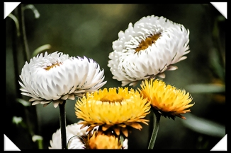 Friday Flower Fiesta 12-19-14 Russel Ray Photos