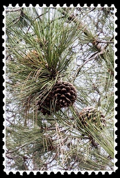 Torrey Pine (Pinus torreyana)
