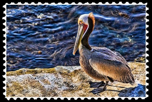 Pelican at La Jolla Cove in La Jolla, California