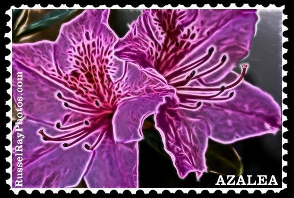 Azalea